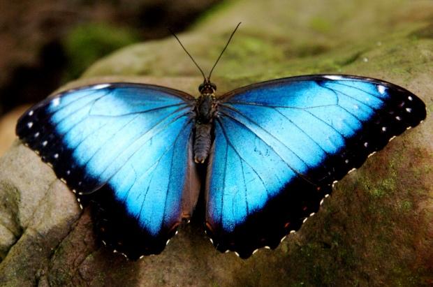 bluerainforestbutterfly